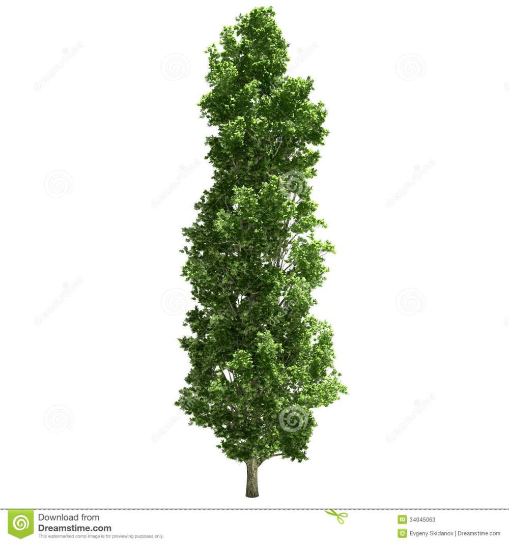 medium resolution of poplar tree single