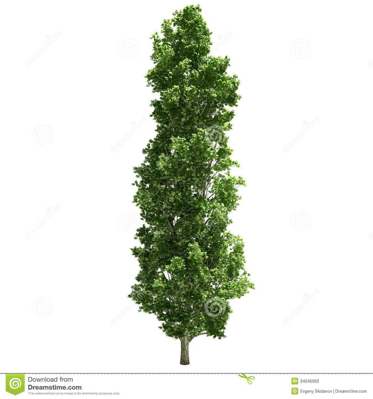 hight resolution of poplar tree single