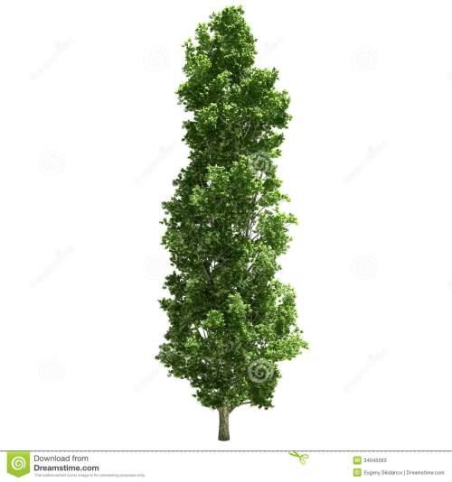 small resolution of poplar tree single