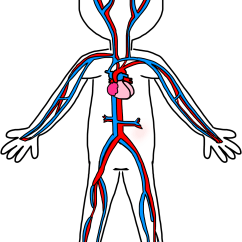 Circulatory System Heart Diagram Unlabeled Labeled Phase Blood Circulation Clipart Clipground