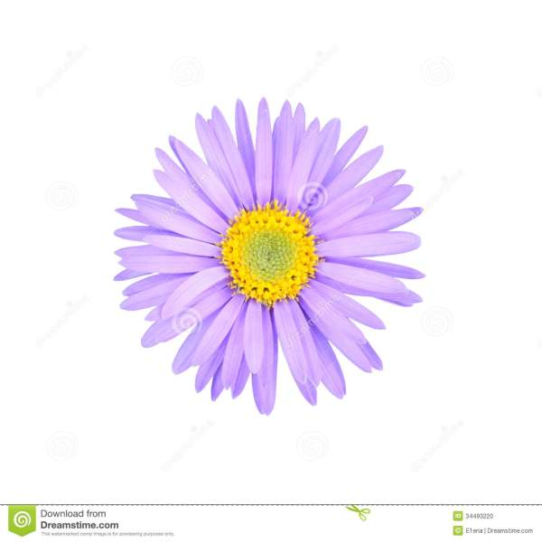 purple asters clipart - clipground
