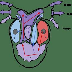 Heart Diagram Quiz Games Mercruiser Mando Alternator Wiring Body Regions Clipart For Ap Clipground