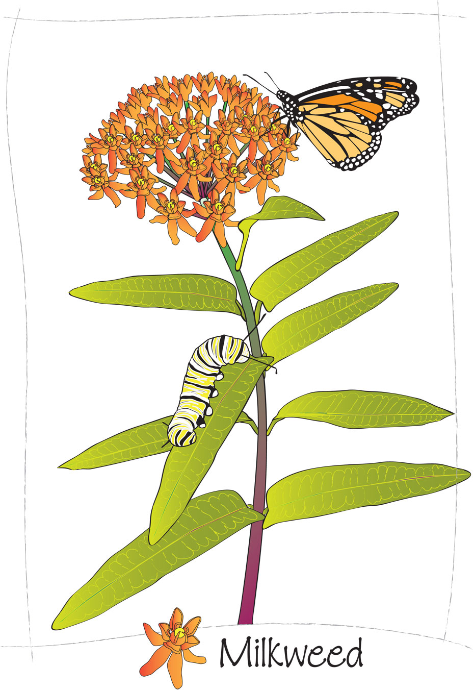 Colorful Milkweed Clipart Clipground