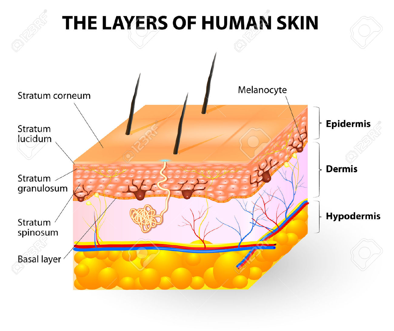 7 layers of skin diagram wiring leviton decora light dimmer switch epidermis clipart clipground