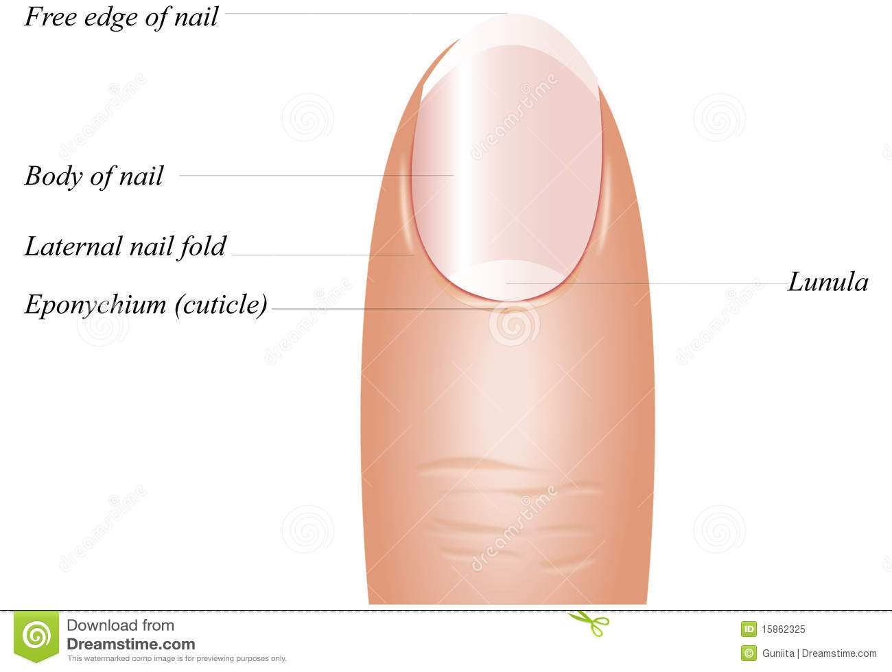 Finger Nail Clipart 20 Free Cliparts