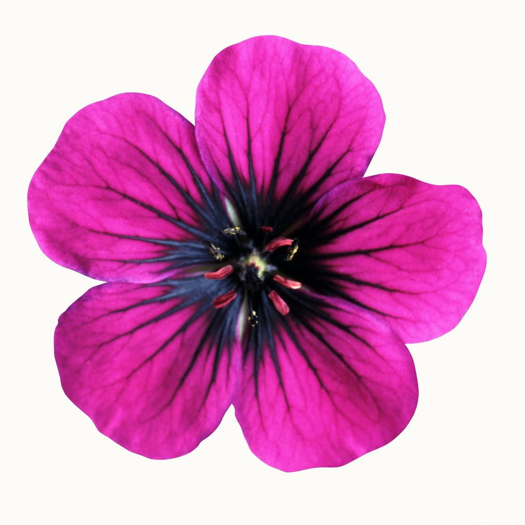 Free Printable Flowers Pictures 20 Free Cliparts