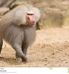 male hamadryas baboon stock photo  [ 1300 x 957 Pixel ]