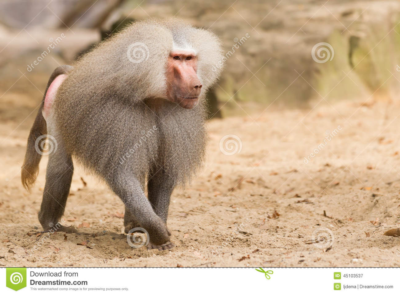 hight resolution of male hamadryas baboon stock photo
