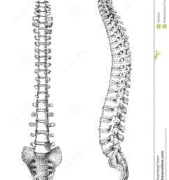 human spine clipart  [ 1019 x 1300 Pixel ]