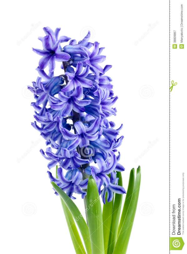 Hyacinthus Clipart - Clipground