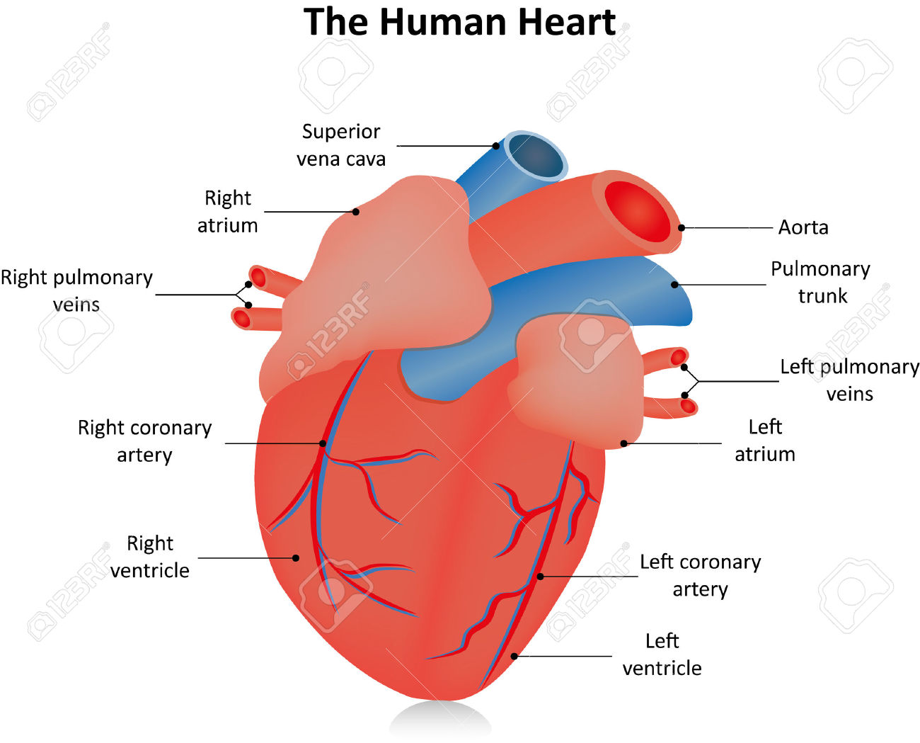 labeled diagram of heart on base 5 1 wiring clipart clipground