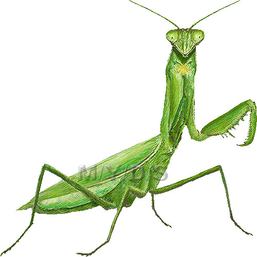 praying mantis clipart - clipground