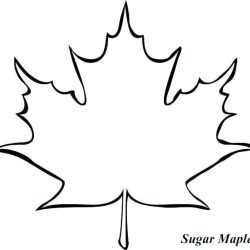 outline leaf maple clipart drawing latest hd clipground