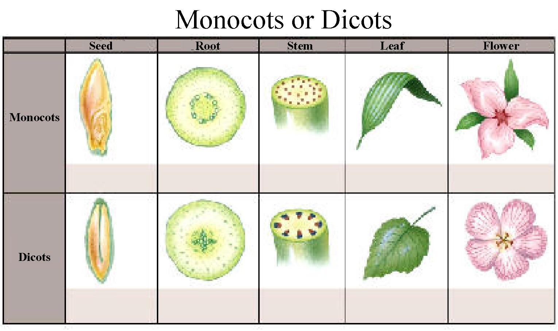 Monocotyledons Clipart