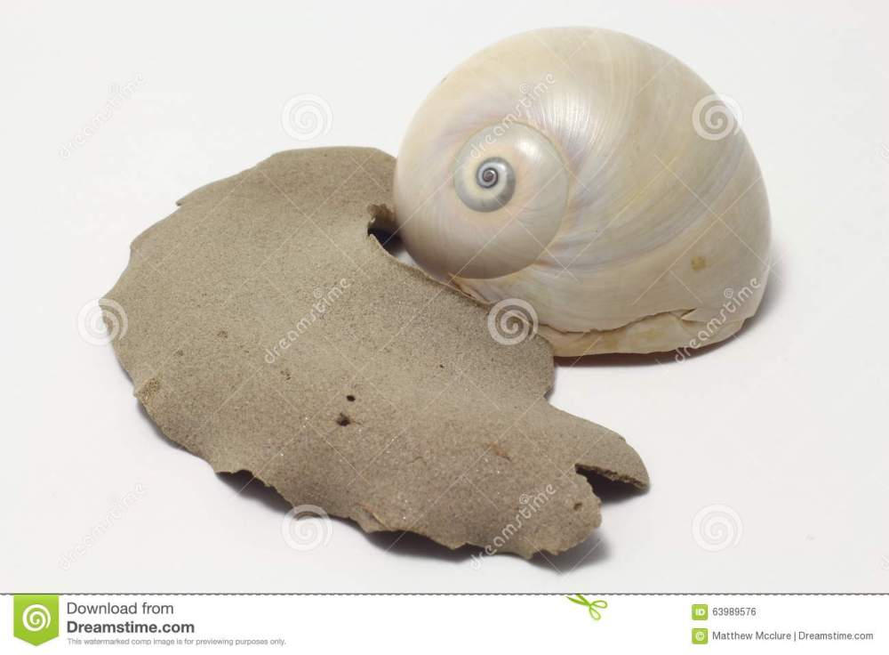 medium resolution of moon snail portrait royalty free stock image