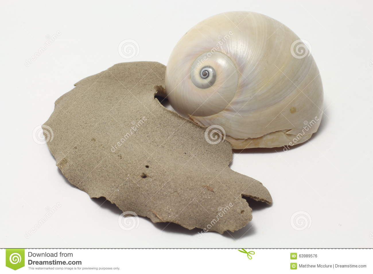hight resolution of moon snail portrait royalty free stock image