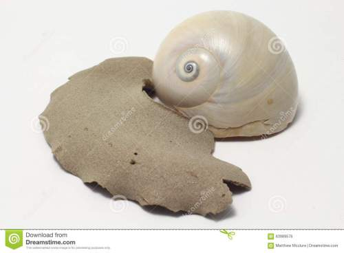 small resolution of moon snail portrait royalty free stock image