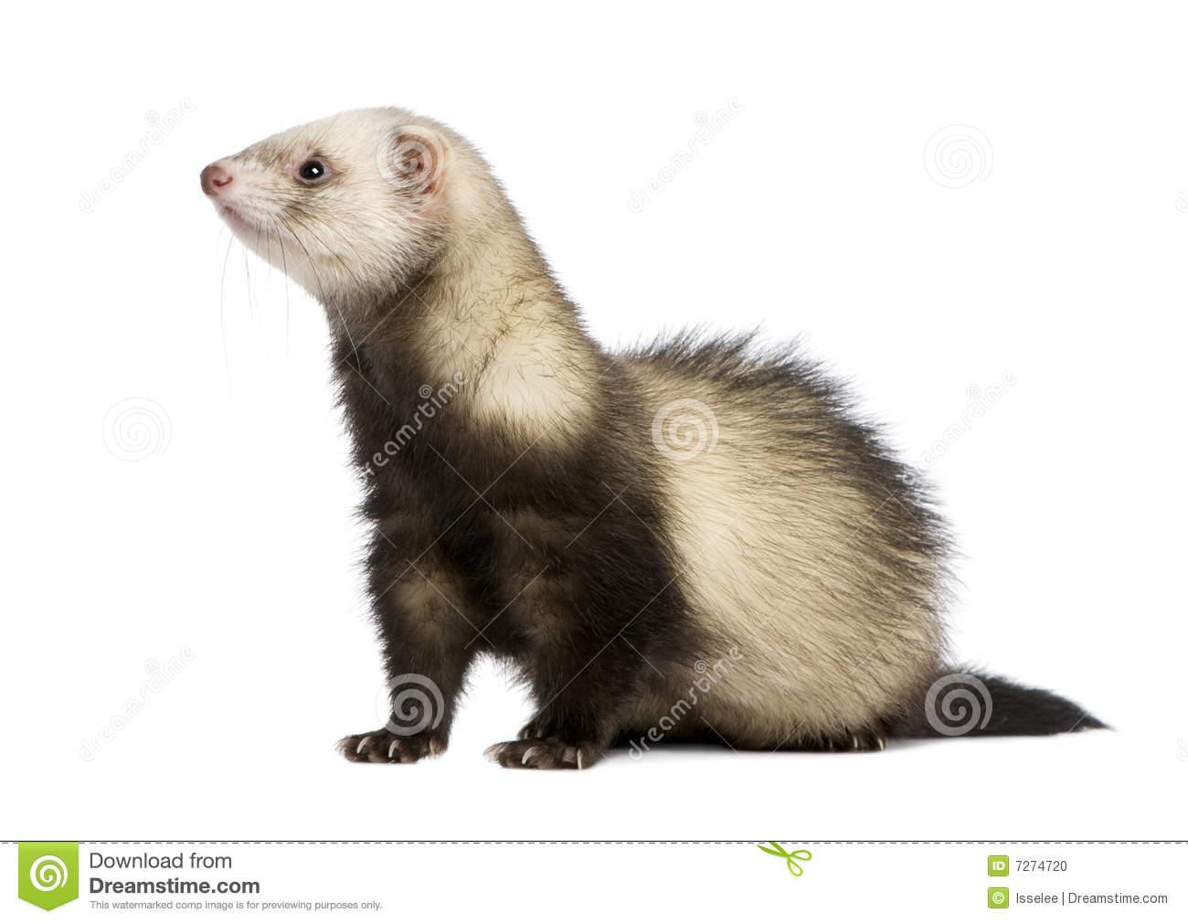 hight resolution of ferret