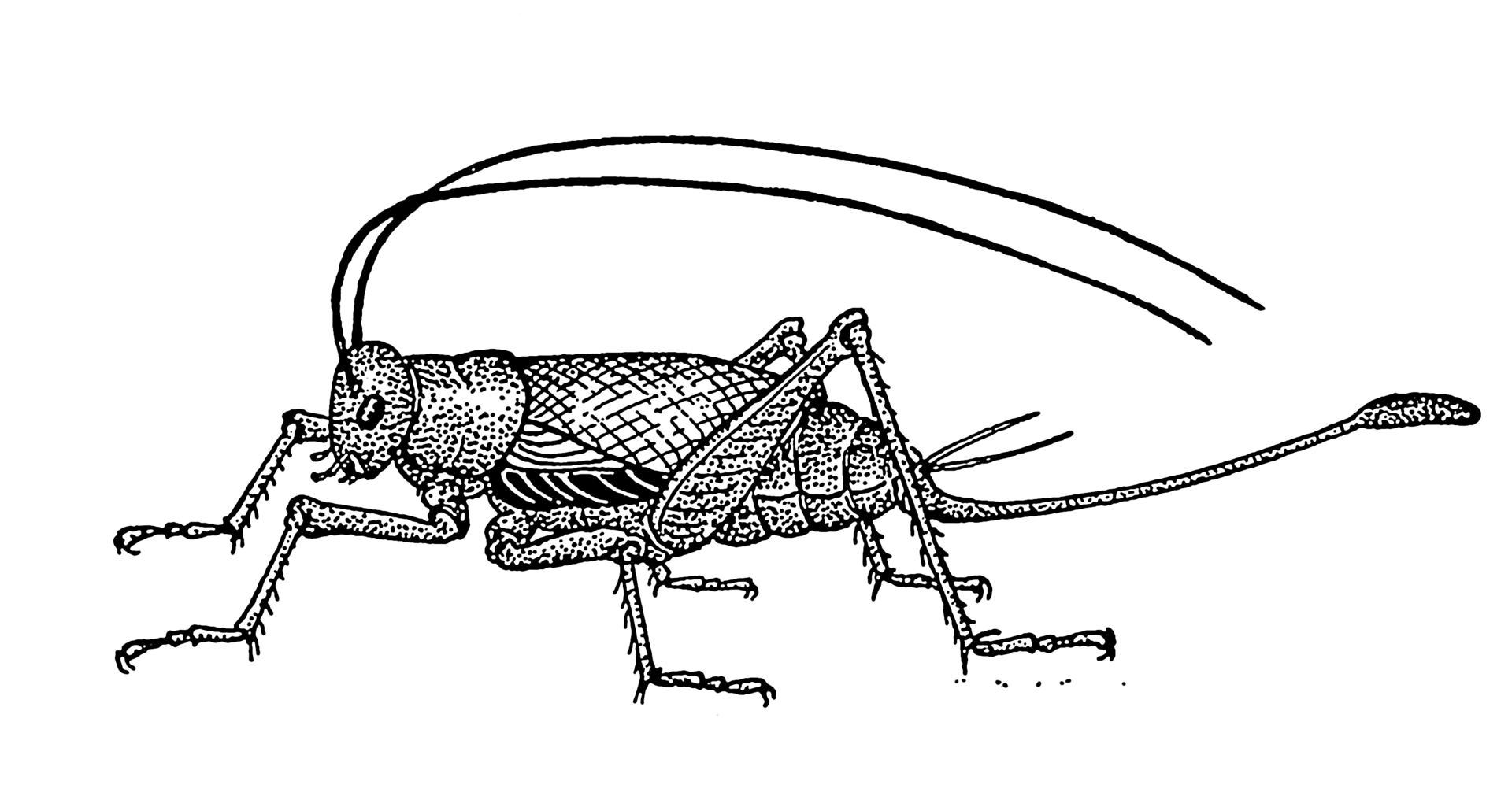 Ovipositor Clipart 20 Free Cliparts