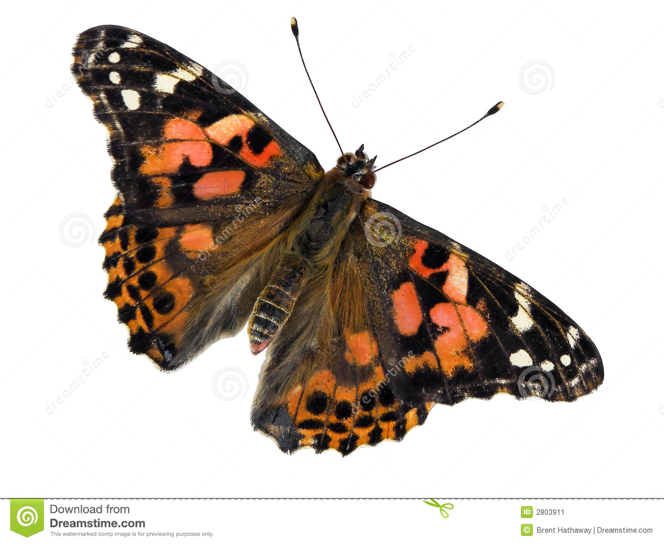 Painted Lady Butterfly Clipart