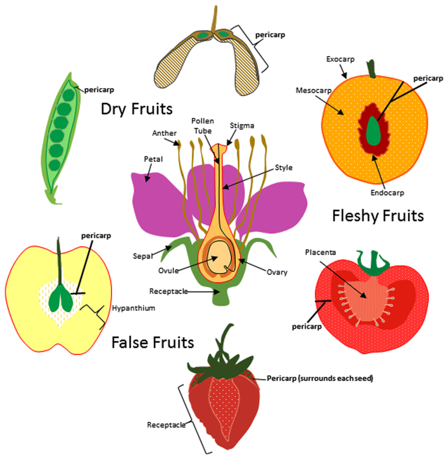 Indehiscent Fruit Clipart Clipground