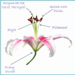 Cross Pollination Diagram For Kids Blank Carpal Pollinated By Lily Clipart - Clipground