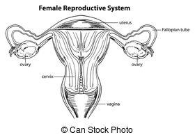 Diagram Of Eating Clipart Reproductive System 20 Free Cliparts Download