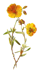 flower clipart rock wild clip rose illustrations common illustration plant flora botanical yellow graphics cliparts graphic broom digital printable clipground