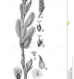 salix caprea or goat willow botanical vintage engraving stock  [ 969 x 1300 Pixel ]