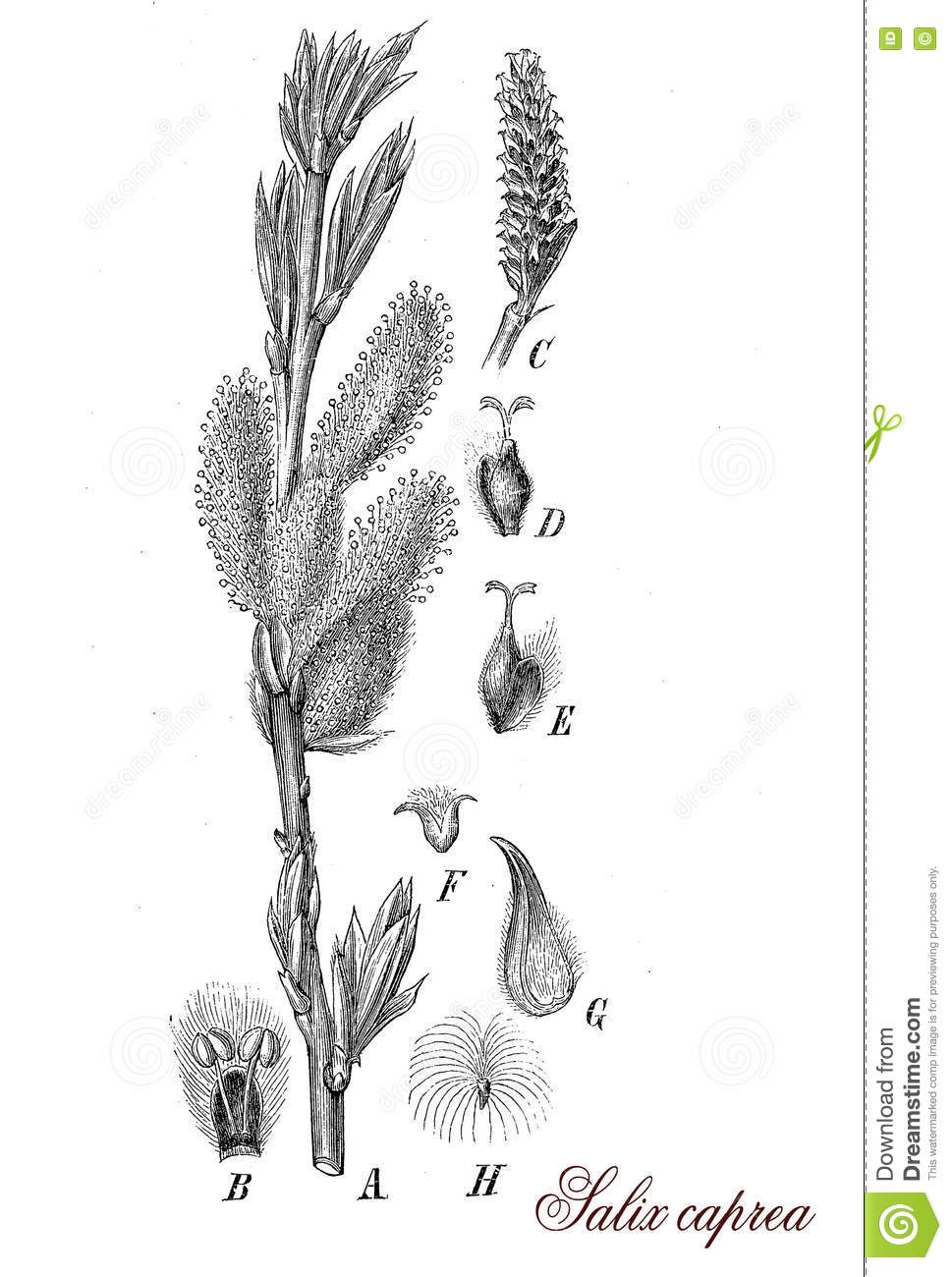 hight resolution of salix caprea or goat willow botanical vintage engraving stock