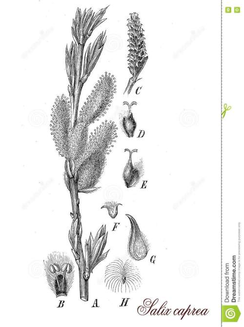 small resolution of salix caprea or goat willow botanical vintage engraving stock