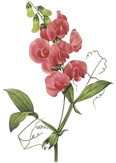 sweet pea clipart 20 free cliparts