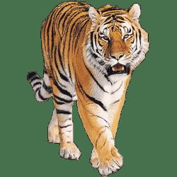 tiger transparent clipart tigers animals roaring walking jump clipground cartoon head cute baby three resolution