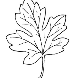 black and white leaf clipart  [ 1067 x 1350 Pixel ]