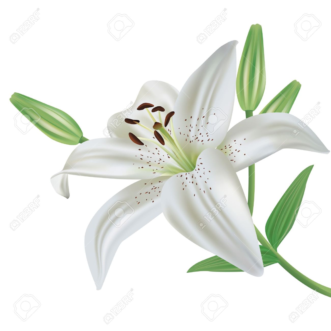 lily diagram printable 1999 ford contour fuse white lilies clipart - clipground