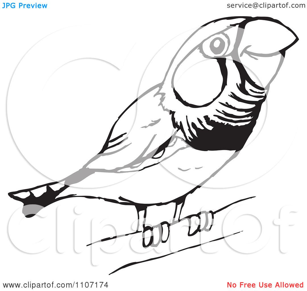 Zebra Finch Clipart