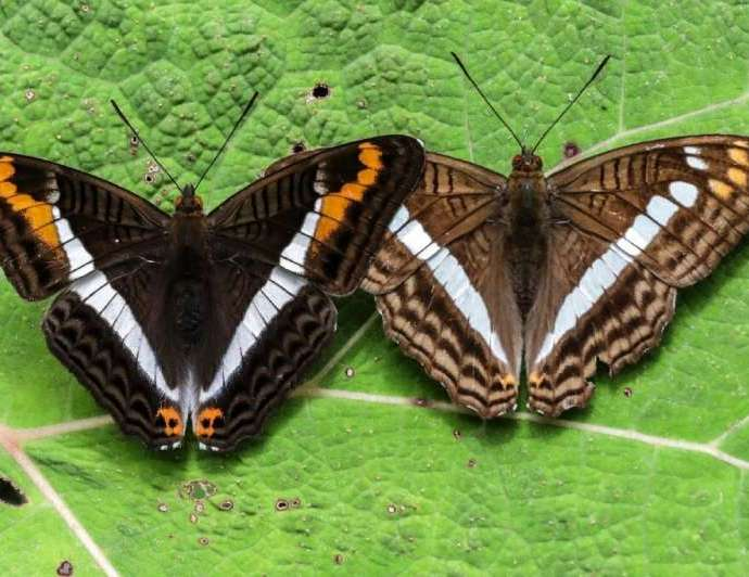 Pictures of the Adelpha corcyra and Adelpha alala butterflies pictures in Colombia's Antioquia department.