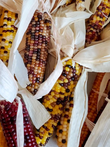 Showing the colors of the corn