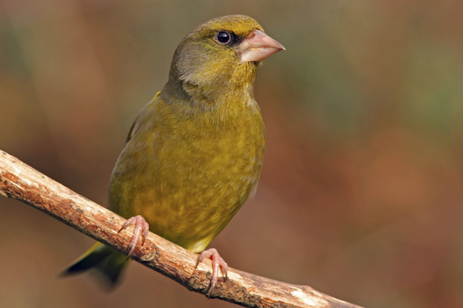 CCC-Members-2012-Green Finch