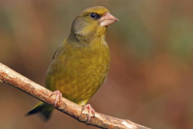 CCC-Members-2012-Green Finch
