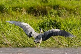 Heron on River Suir