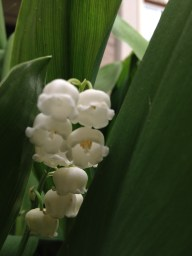 Lilly of the Valley, via England more than a few generations and houses ago