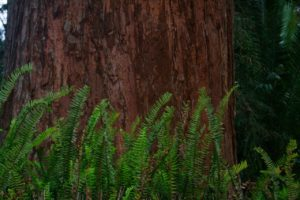 Redwood and ferns at Prospect Park Redlands CA