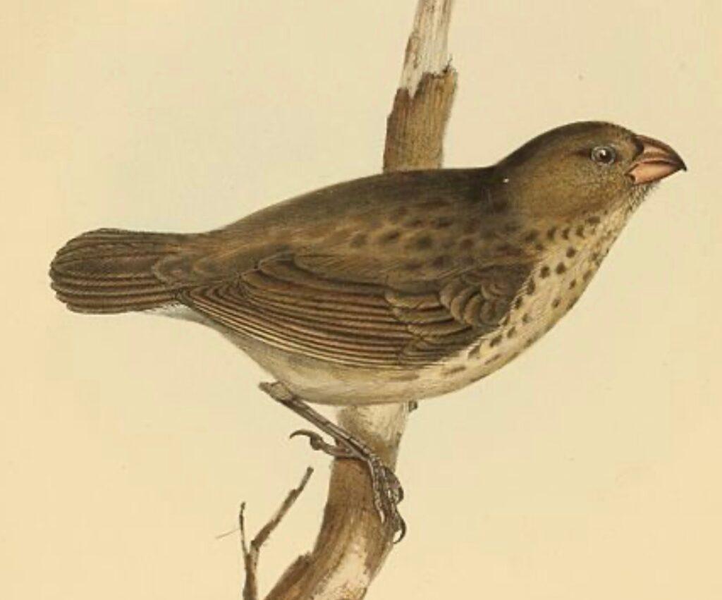 Darwin S Finches Cloth In Common