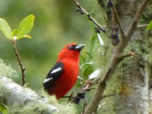 White Winged Tanager ( Piranga leucoptera)