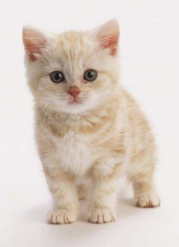tribbles-cute-kitten