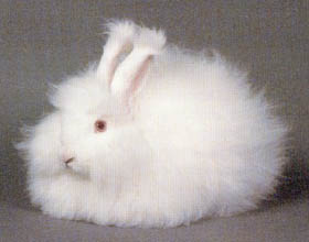 dream-rabbit_angora