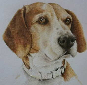 Work in Progress shot of Beagel named Angel, this is a gift memorial portrait, photo lacked detail and the sun was behind the subject, drawn with polychromos by Aoife Stokes (Clouded Ideas) 2016 - portrait as a Christmas gift