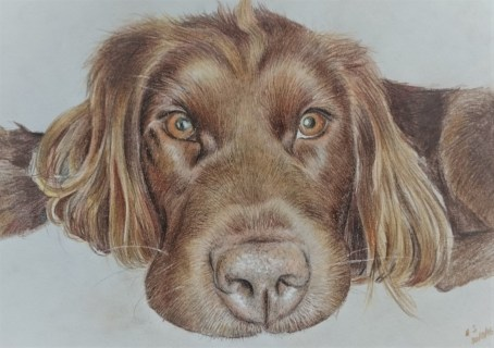 Animal portrait of spaniel lab mix, using Polychromos. Creating dark and light, shadows and highlights, more detail to go in on the ears and body, this portrait was drawn by Aoife Stokes (Clouded Ideas) in 2016