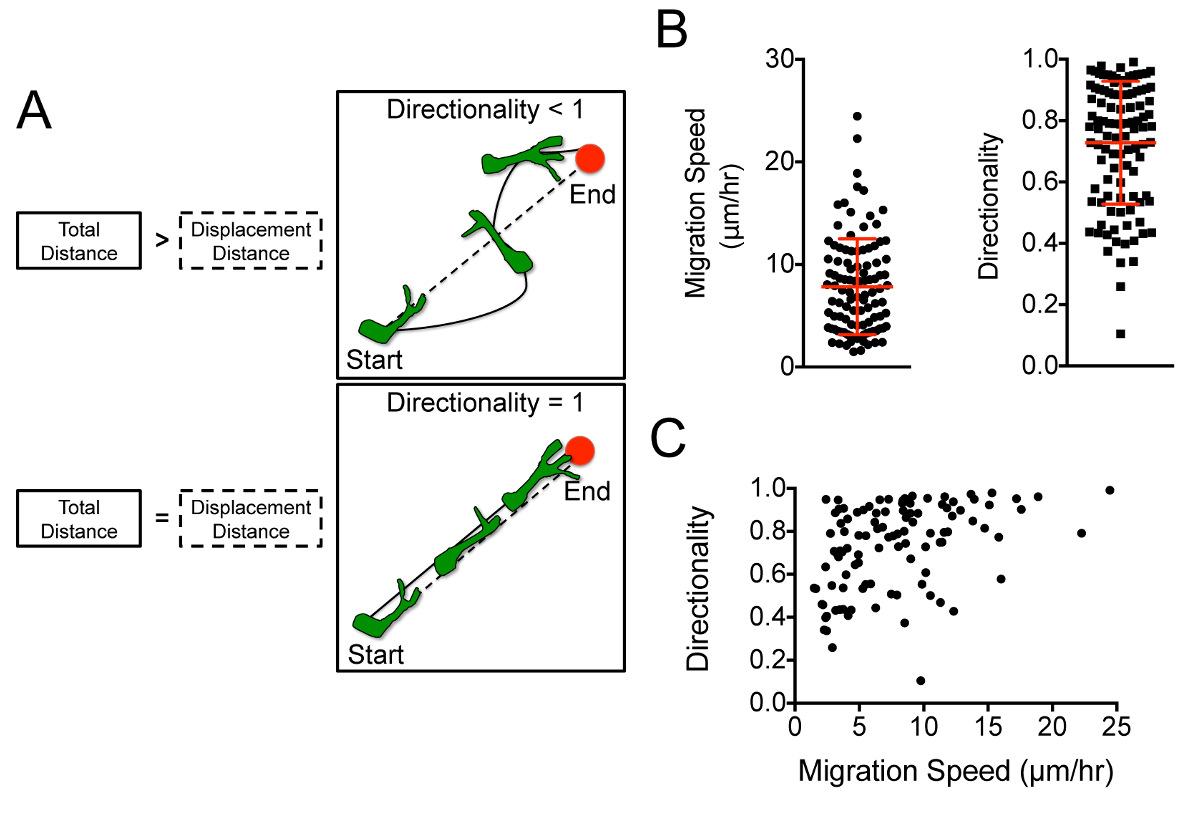 A Human Glioblastoma Organotypic Slice Culture Model for